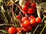 Title: Evening red rowanberries
