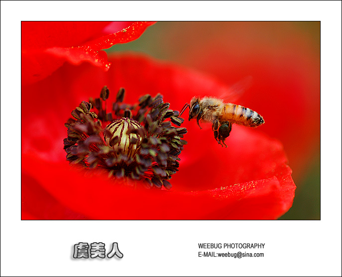 Bee and corn poppy