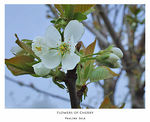 Title: Flowers of CherryTree(shot2)