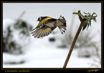Title: The European Goldfinch