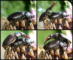 Title: K�ma-S�tra with Stag beetle