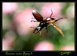 Title: Stag beetle flying 3