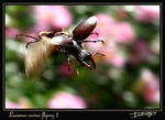 Title: Stag beetle flying 2