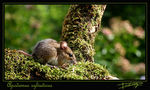 Title: Woodmouse
