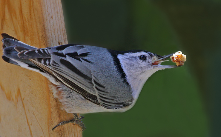 Whte-breasted Nuthatch