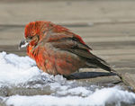 Title: Red Crossbill