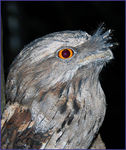 Title: Tawny Frogmouth