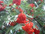 Title: RED BERRIES