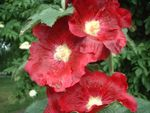 Title: Red Hollyhock