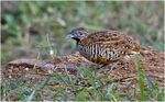 Title: Barred Buttonquail