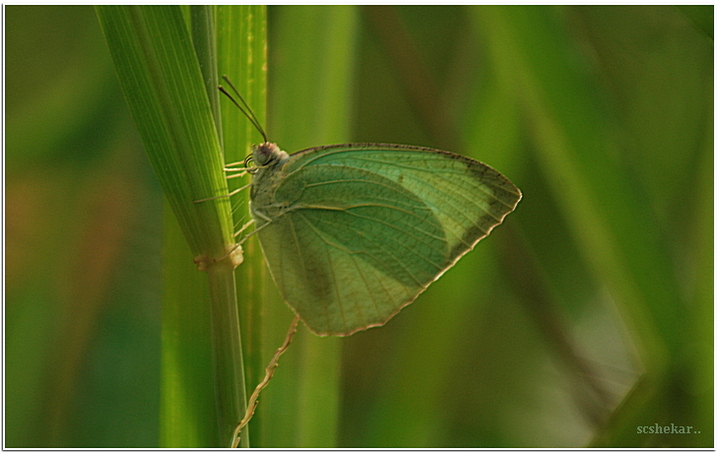 Common Emigrant