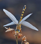 Title: Dragon Fly with dew