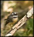 Title: Grey Fantail