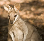 Title: Whiptail Wallaby