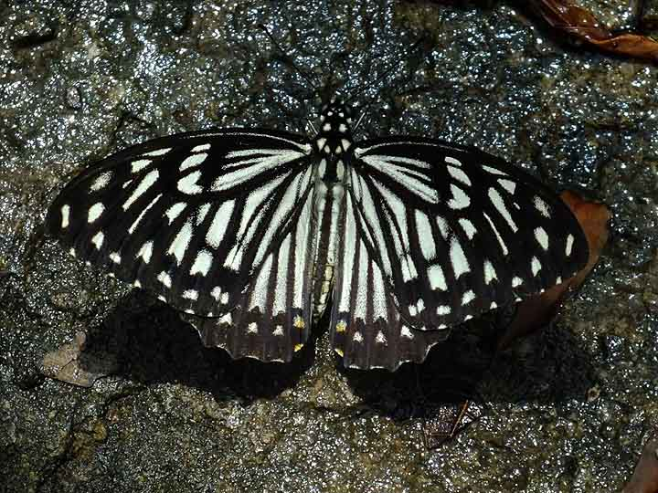 Common Mime buterfly