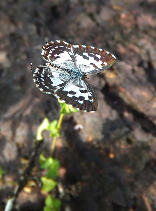 Common Pierrot UP