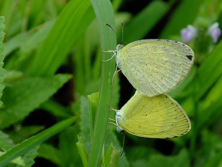 Mating Small Grass Yellow