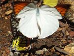 Title: Flying Great Orange Tip