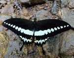 Title: Malabar Banded Swallowtail (UP)