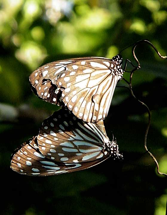 Mating Blue Tiger Butterfly