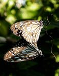 Title: Mating Blue Tiger Butterfly