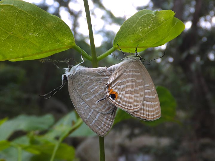 Mating Common Cerulean