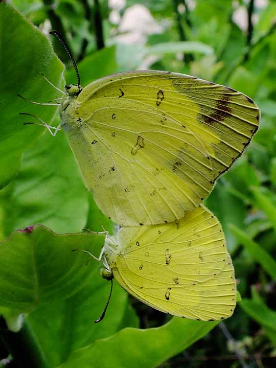 Mating Common Grass Yellow
