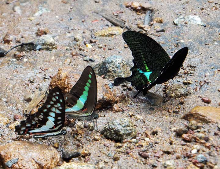 Mud sipping butterflies.
