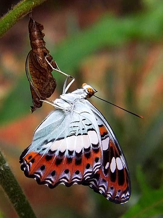 New born Commander butterfly