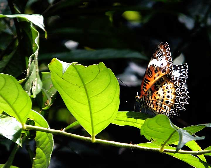 Tamil Lacewing (DN)