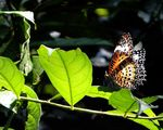 Title: Tamil Lacewing (DN)