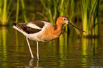 Title: Evening with American Avocet
