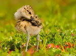 Title: Another Juvenile American Avocet