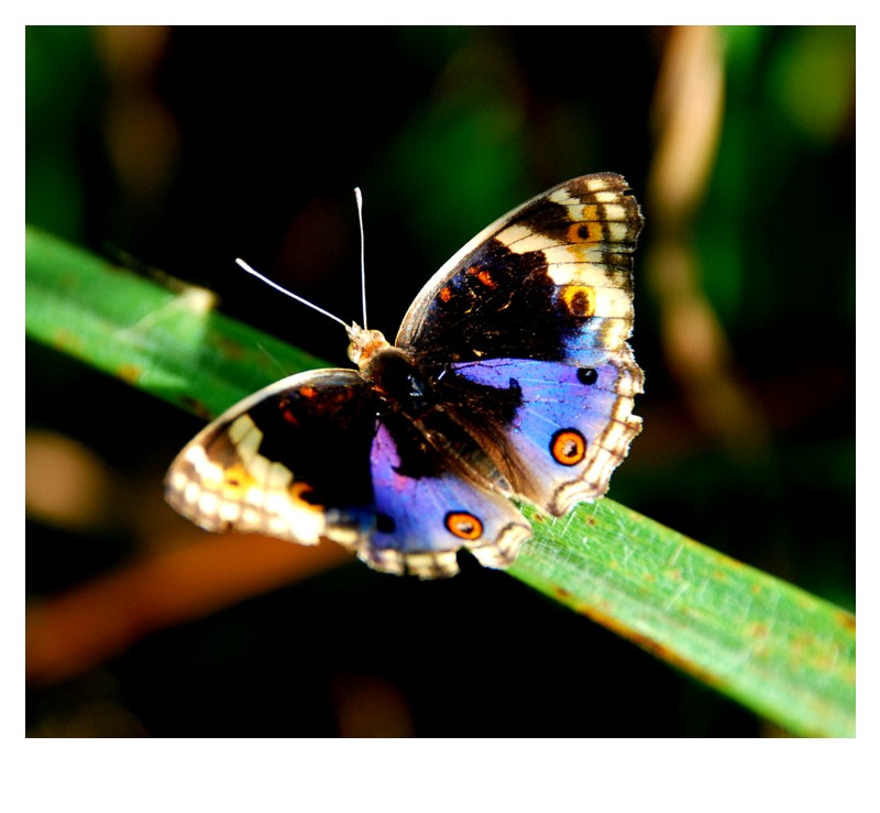 The Blue Pansy @Junonia orithya