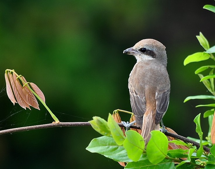 The Brown Shrike