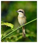 Title: Brown Shrike (Lanius cristatus)