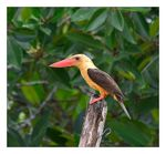 Title: Brown Winged Kingfisher