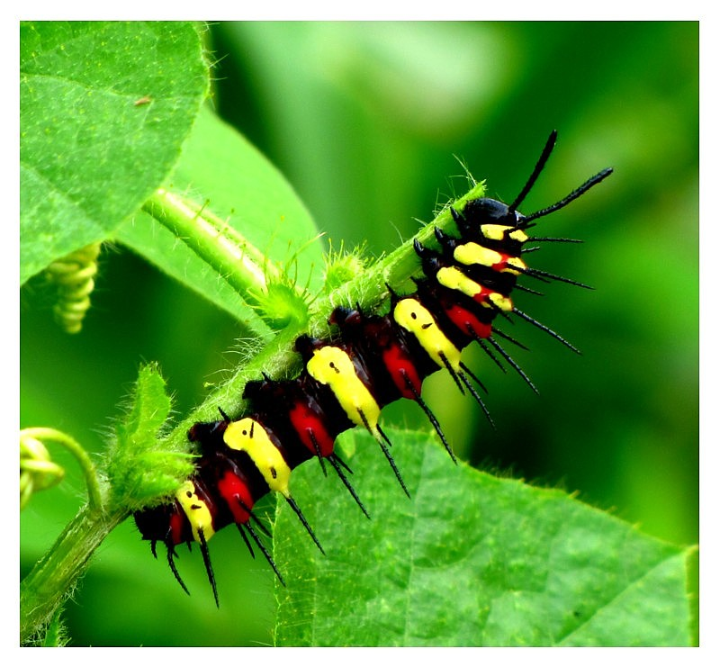 Wine Red Caterpillar