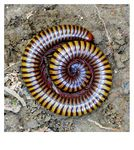 Title: Millipedes in Defense Mechanism