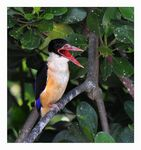 Title: Black-capped Kingfisher