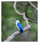 Title: The Collared Kingfisher