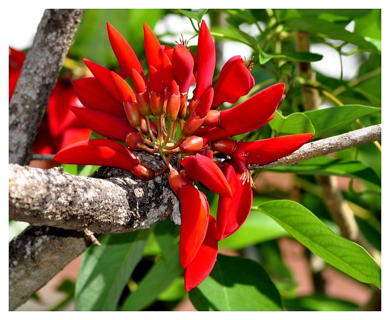 Wild Flower of Pahang -Erythrina fusca