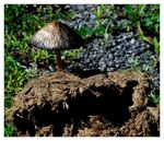Title: Elephant's Droppings Fungi