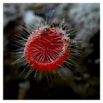 Title: Hairy Cup Fungus