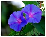 Title: Ipomoea  - Morning GloryNikon D80