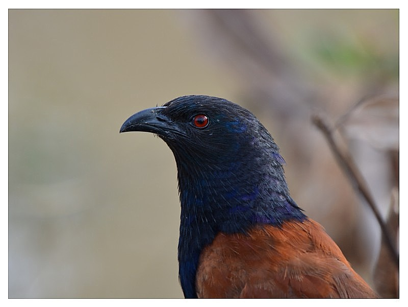 Portrait of a Greater Coucal