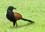 Title: Greater Coucal