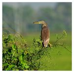 Title: Chinese Pond Heron