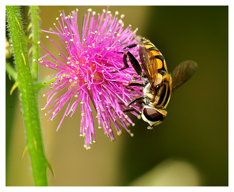 Hoverfly on Mimosa Pudica Flower