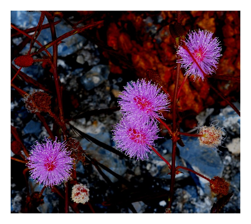 Mimosa Pudica on Rock